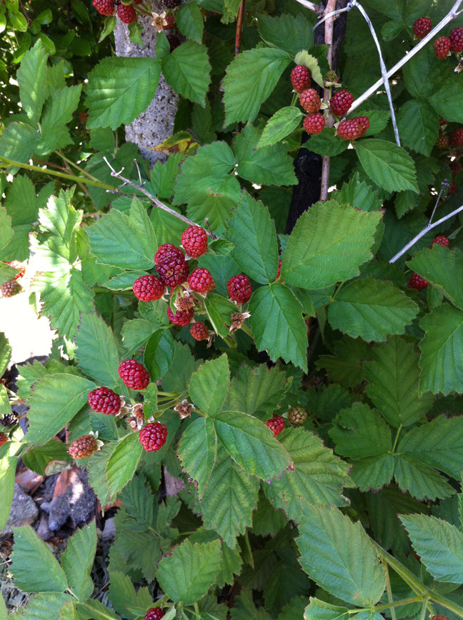 High Angle View Of Raspberries Growing On Plant