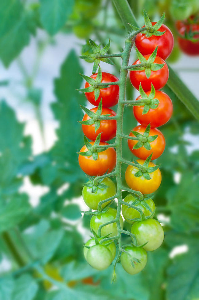 Ripe and unripe cherry tomatoes on the vine.
